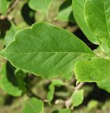 šácholan Soulangeův <i>(Magnolia ×soulangeana)</i> / List
