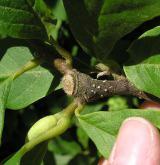 šácholan Soulangeův <i>(Magnolia ×soulangeana)</i> / Větve a pupeny