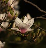 šácholan Soulangeův <i>(Magnolia ×soulangeana)</i> / Květ/Květenství