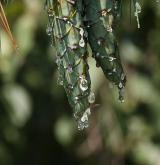 borovice Schwerinova <i>(Pinus ×schwerinii)</i> / Plod