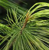borovice Schwerinova <i>(Pinus ×schwerinii)</i> / Větve a pupeny