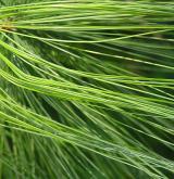 borovice Schwerinova <i>(Pinus ×schwerinii)</i> / List