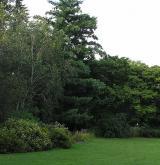 borovice Schwerinova <i>(Pinus ×schwerinii)</i> / Habitus
