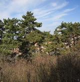 borovice černá <i>(Pinus nigra)</i> / Habitus