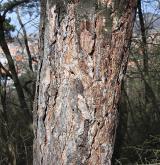 borovice černá <i>(Pinus nigra)</i> / Borka kmene