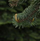 borovice osinatá <i>(Pinus aristata)</i> / Větve a pupeny
