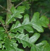 dub cer <i>(Quercus cerris)</i> / List