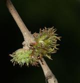 dub cer <i>(Quercus cerris)</i> / Květ/Květenství