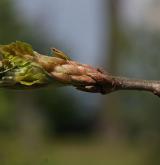 dub letní <i>(Quercus robur)</i> / Stonek