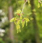 dub letní <i>(Quercus robur)</i> / Květ/Květenství