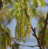 dub červený <i>(Quercus rubra)</i> / Květ/Květenství