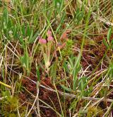 kyhanka sivolistá <i>(Andromeda polifolia)</i> / Habitus