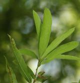 dub čárkolistý <i>(Quercus phellos)</i> / List