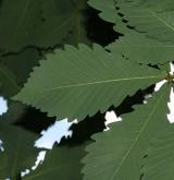 dub mongolský <i>(Quercus mongolica)</i>