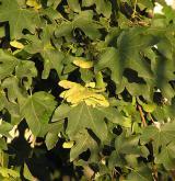 javor babyka <i>(Acer campestre)</i> / Habitus