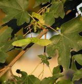 javor babyka <i>(Acer campestre)</i> / Plod