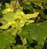 javor mléč <i>(Acer platanoides)</i> / Plod