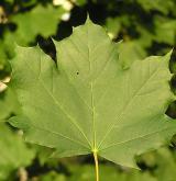 javor mléč <i>(Acer platanoides)</i> / List