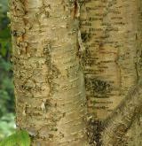 bříza žlutá <i>(Betula alleghaniensis)</i> / Borka kmene