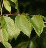 bříza žlutá <i>(Betula alleghaniensis)</i> / List