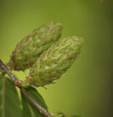bříza žlutá <i>(Betula alleghaniensis)</i> / Květ/Květenství
