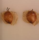bříza nízká <i>(Betula humilis)</i> / Plod