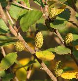 bříza nízká <i>(Betula humilis)</i> / Květ/Květenství