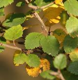 bříza nízká <i>(Betula humilis)</i> / List