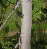 bříza Jacquemontova <i>(Betula jacquemontii)</i> / Borka kmene