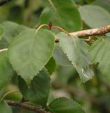 bříza Jacquemontova <i>(Betula jacquemontii)</i> / List