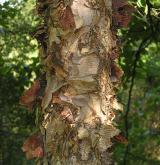 bříza černá <i>(Betula nigra)</i> / Borka kmene