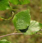 bříza černá <i>(Betula nigra)</i> / List