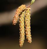 bříza černá <i>(Betula nigra)</i> / Květ/Květenství