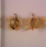 bříza čínská <i>(Betula albo-sinensis)</i> / Plod