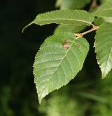 bříza čínská <i>(Betula albo-sinensis)</i> / List