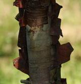 bříza čínská <i>(Betula albo-sinensis)</i> / Borka kmene