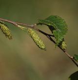 bříza čínská <i>(Betula albo-sinensis)</i> / Květ/Květenství