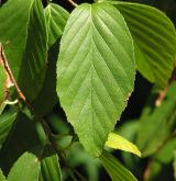 bříza Schmidtova <i>(Betula schmidtii)</i> / List