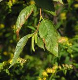 bříza Schmidtova <i>(Betula schmidtii)</i> / Květ/Květenství