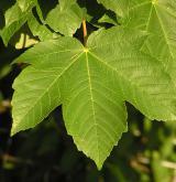 javor klen <i>(Acer pseudoplatanus)</i> / List