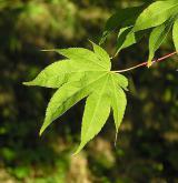 javor dlanitolistý <i>(Acer palmatum)</i> / List