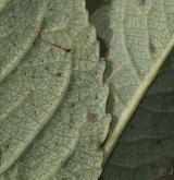 vrba hrotolistá <i>(Salix hastata)</i> / List