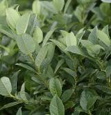 vrba hrotolistá <i>(Salix hastata)</i> / Habitus