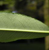 vrba sachalinská <i>(Salix udensis)</i> /