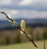vrba ušatá <i>(Salix aurita)</i> / Květ/Květenství