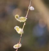 vrba špičatolistá <i>(Salix acutifolia)</i> / Květ/Květenství