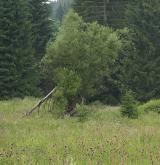 vrba lýkovcová <i>(Salix daphnoides)</i> / Habitus
