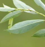 vrba lýkovcová <i>(Salix daphnoides)</i> / List