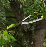 vrba lýkovcová <i>(Salix daphnoides)</i> / Stonek