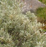 vrba laponská <i>(Salix lapponum)</i> / Habitus